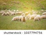 flock of sheeps grazing in... | Shutterstock . vector #1037794756