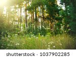 glade with flowers in pine...   Shutterstock . vector #1037902285