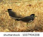 yellow wattled lapwing bird and ... | Shutterstock . vector #1037904208