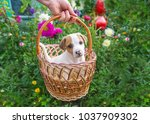Stock photo jack russel puppy sitting in basket in a garden full of colorful flowers closeup portrait 1037909302