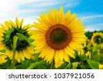 photo of the sunflower | Shutterstock . vector #1037921056