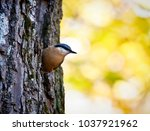 cute wood nuthatch small... | Shutterstock . vector #1037921962