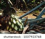 agave azul  pineapple  being... | Shutterstock . vector #1037923768