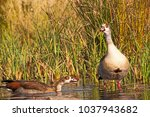 Small photo of Pair of Egyptian Goose (Alopochen aegyptiacca)