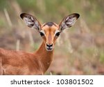 Baby Impala Looking Alert To...