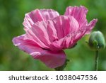 fresh beautiful pink poppies on ... | Shutterstock . vector #1038047536