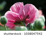 fresh beautiful pink poppies on ... | Shutterstock . vector #1038047542