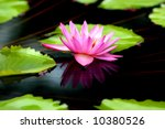 waterlily is duplicated in the...   Shutterstock . vector #10380526