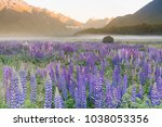 full of purple lupine blossom... | Shutterstock . vector #1038053356