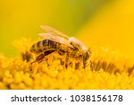 Honey Bee Covered With Yellow...