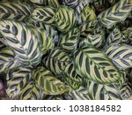 patterned leaves of peacock... | Shutterstock . vector #1038184582