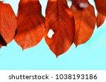 red leaf of rowan tree in...   Shutterstock . vector #1038193186