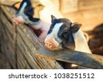 a small piglet in the farm.... | Shutterstock . vector #1038251512