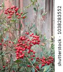 Small photo of Red Yaupon berries against a wooden wall