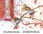 fieldfare eating rowan berries... | Shutterstock . vector #1038292816