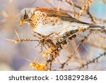 winter bird eats berries in a... | Shutterstock . vector #1038292846