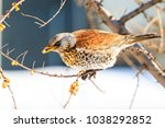 fieldfare eating sea buckthorn... | Shutterstock . vector #1038292852