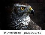 hawk close up. bird of prey... | Shutterstock . vector #1038301768