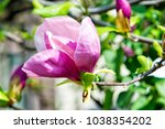 Small photo of Magnolia tree bloom on sunny day. Magnolia flowers blooming in spring.