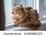 somali cat sunning in a window. | Shutterstock . vector #1038380125