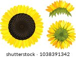 inflorescence of sunflower with ... | Shutterstock .eps vector #1038391342