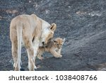 A Lioness With A Cub Stands On...