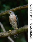 Small photo of Shikra or Accipiter badius are hanging on the tree, turn back and turn your head to the side.