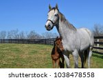 gray thoroughbred mare and bay...   Shutterstock . vector #1038478558