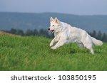 White Swiss Shepherd Runs