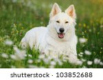 White Swiss Shepherd White...