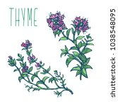 thyme herb with green leaves... | Shutterstock .eps vector #1038548095
