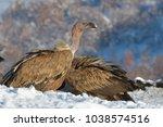 griffon vultures  gyps fulvus ... | Shutterstock . vector #1038574516