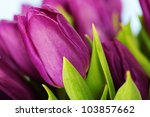Beautiful Purple Tulips   Clos...