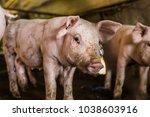 dirty pig in organic farm in... | Shutterstock . vector #1038603916