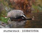 beautiful european badger ... | Shutterstock . vector #1038653506