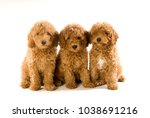 Three Poodle Puppies Isolated...