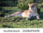 lion relaxing in the grass in... | Shutterstock . vector #1038695698