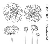 ranunculus. flowers drawn by a... | Shutterstock .eps vector #1038703318