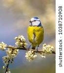 portrait of blue tit  parus... | Shutterstock . vector #1038710908