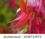 kakabeak flowers  clianthus... | Shutterstock . vector #1038712975