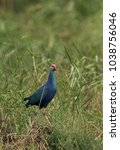 Small photo of Swamphen on the grasses at Asker marsh