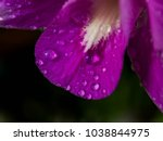 close up dew drops of purple... | Shutterstock . vector #1038844975