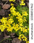 Small photo of Draba sibirica green whitlow-grasses plant with yellow flowers