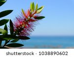 Plant Of Callistemon With Red...