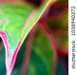 Small photo of Close-up to detail vivid red and green color on leaf surface of Aglaonema 'Siam Aurola' beautiful tropical ornamental houseplant