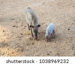 pig in india | Shutterstock . vector #1038969232