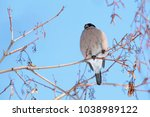 female bullfinch sitting on... | Shutterstock . vector #1038989122