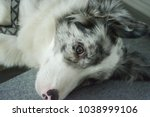 border collie husky hybrids  | Shutterstock . vector #1038999106