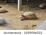 African Tortoise Creep On The...