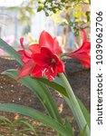 Small photo of Of all flowering bulbs, amaryllis are the easiest to bring to bloom. This can be accomplished indoors or out, and over an extended period of time.
